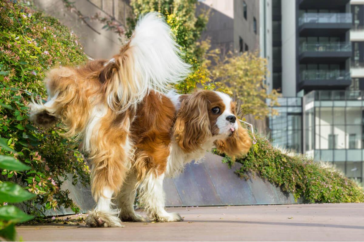 Um cachorro faz xixi no parque.