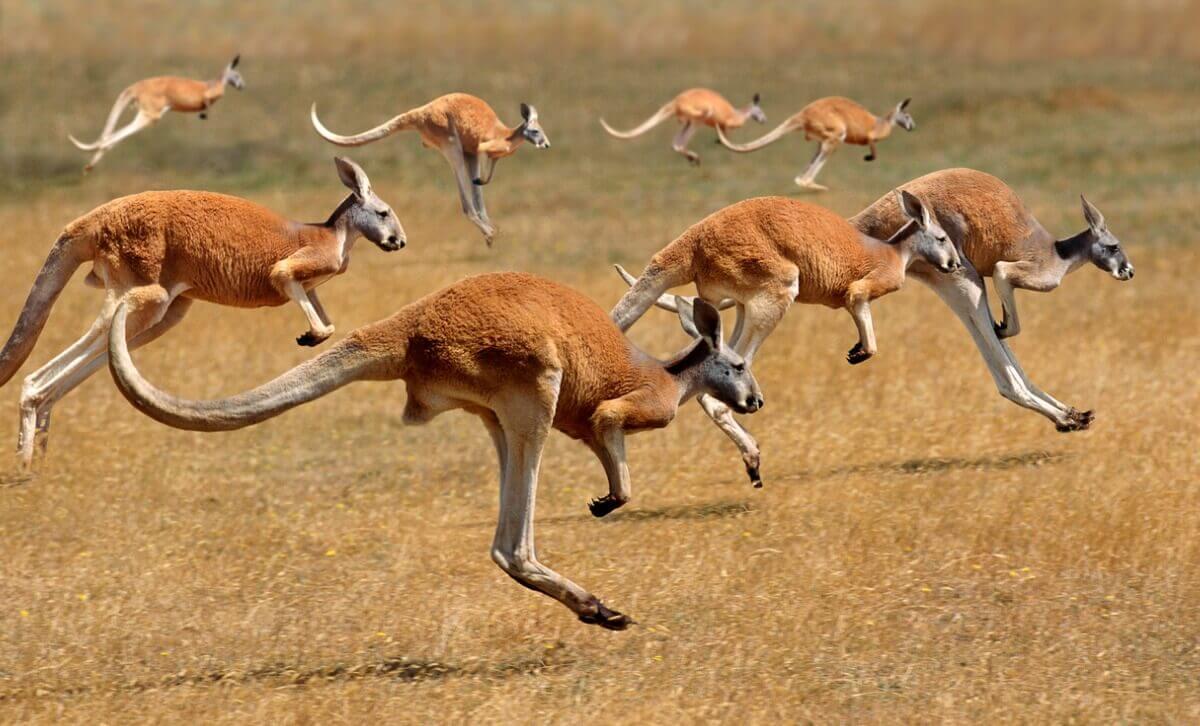 Cangurus: um dos tipos de marsupiais.