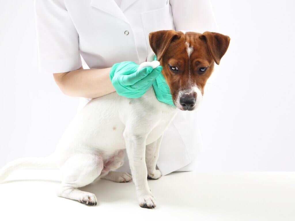 Parafimose em cães: características, causas e tratamento