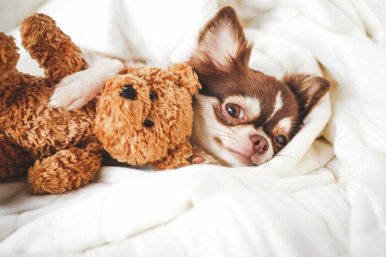 Diferenças entre pinscher e chihuahua