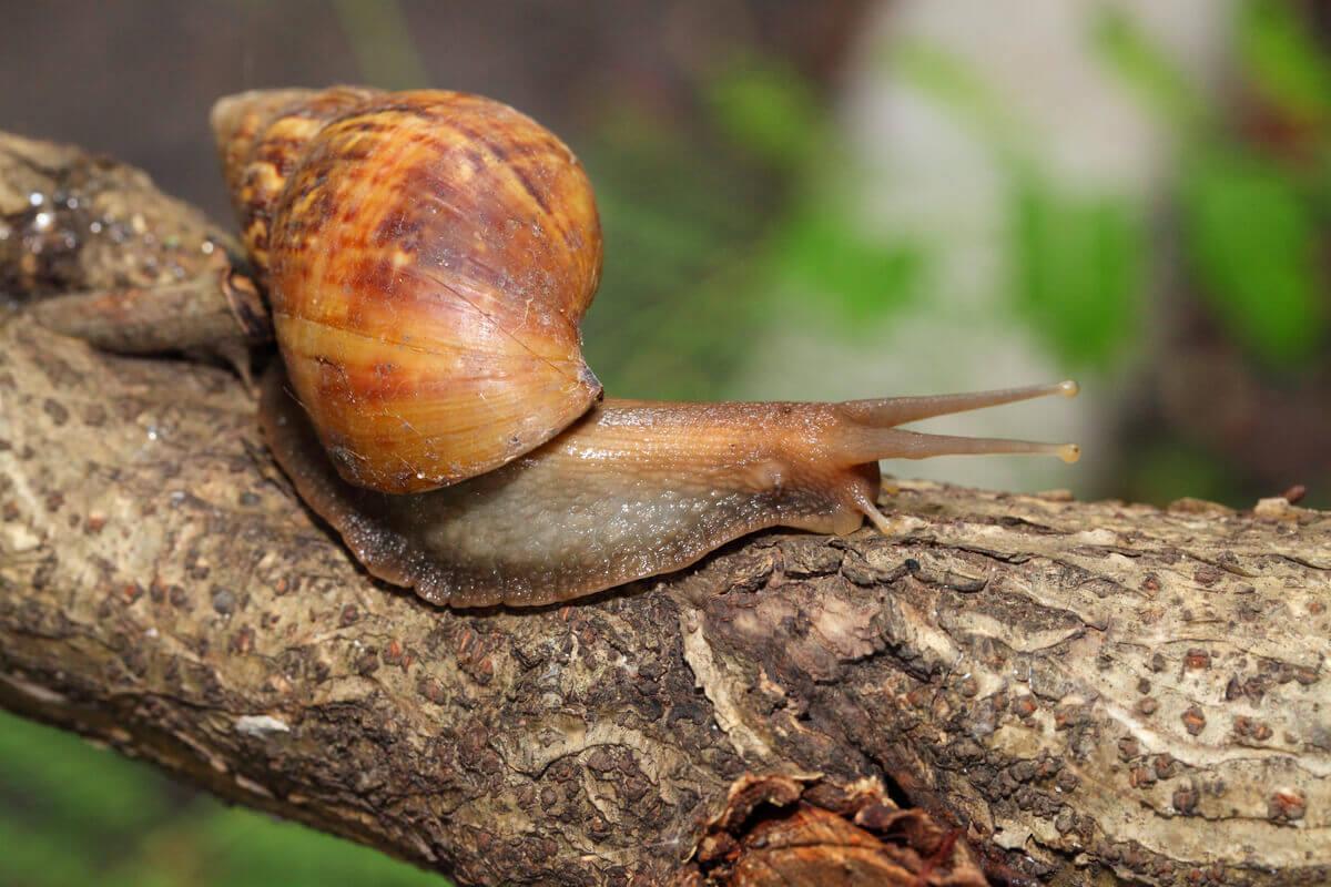 Achatina fulica: um dos tipos de moluscos