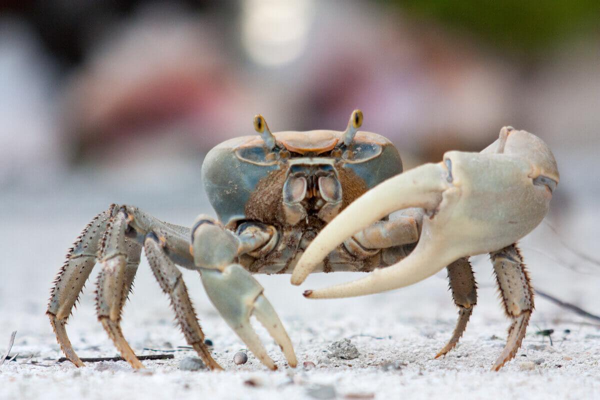 Um caranguejo violinista na areia.