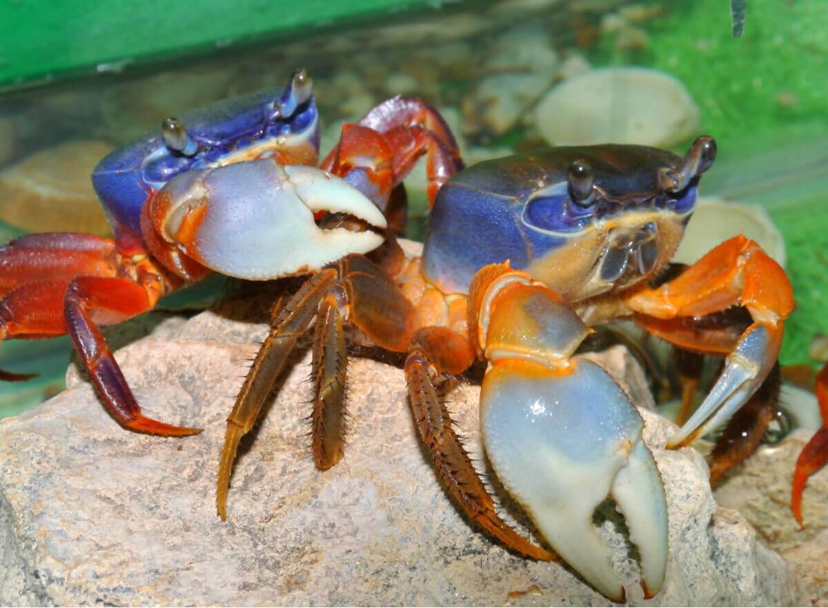 O ciclo da muda em crustáceos é muito importante.
