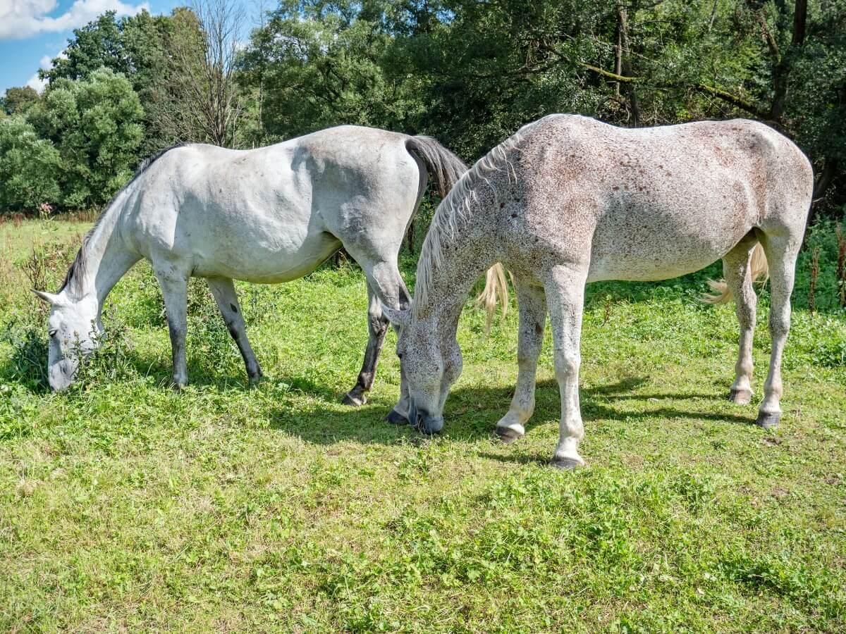 Um casal de cavalos appaloosa.