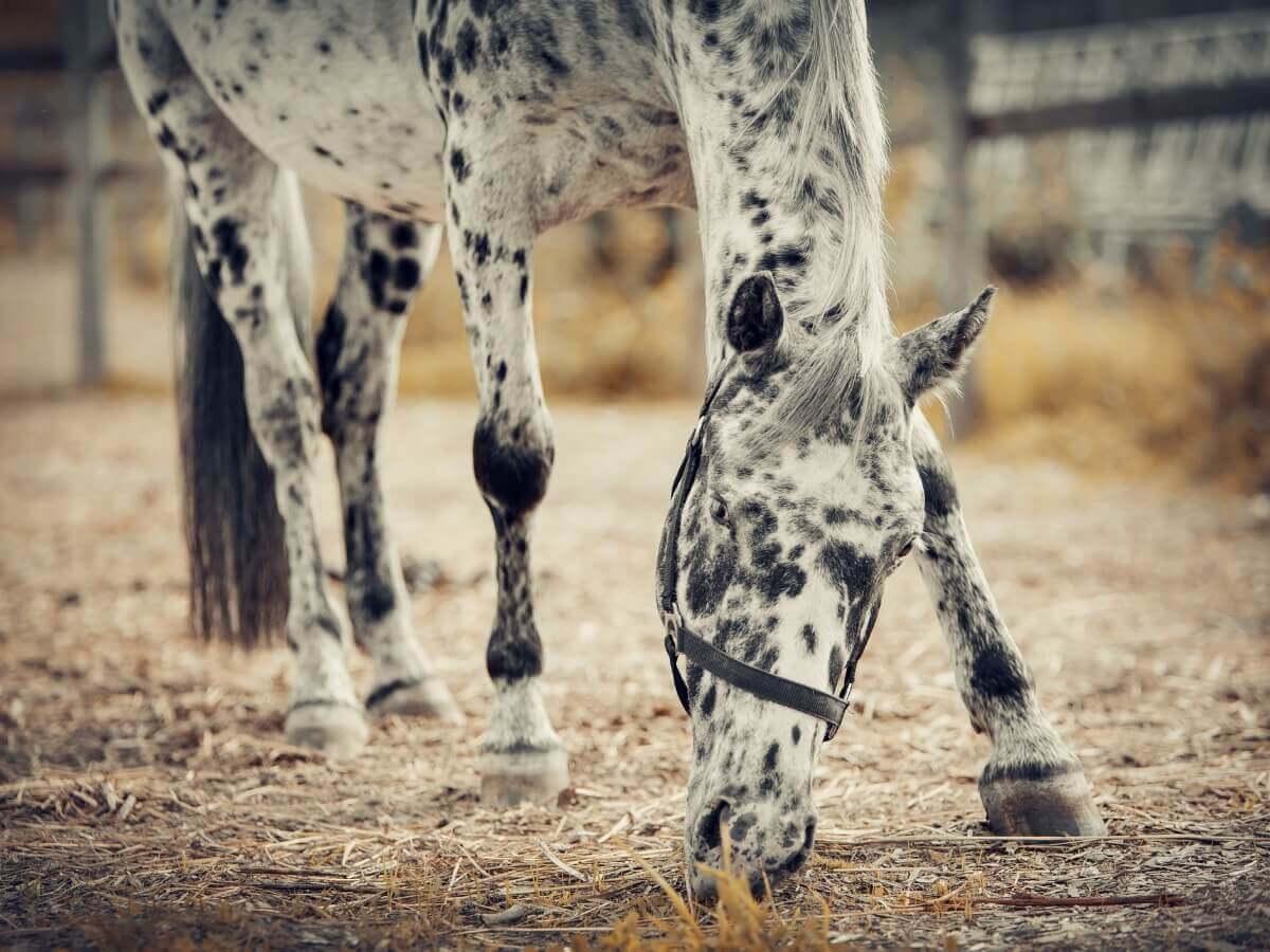 Um cavalo appaloosa comendo do chão.