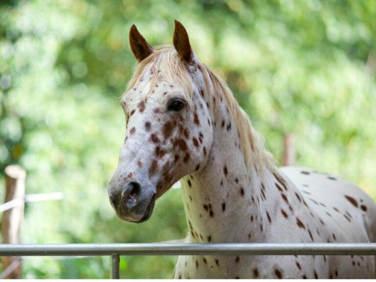 Cavalo appaloosa: origem e características