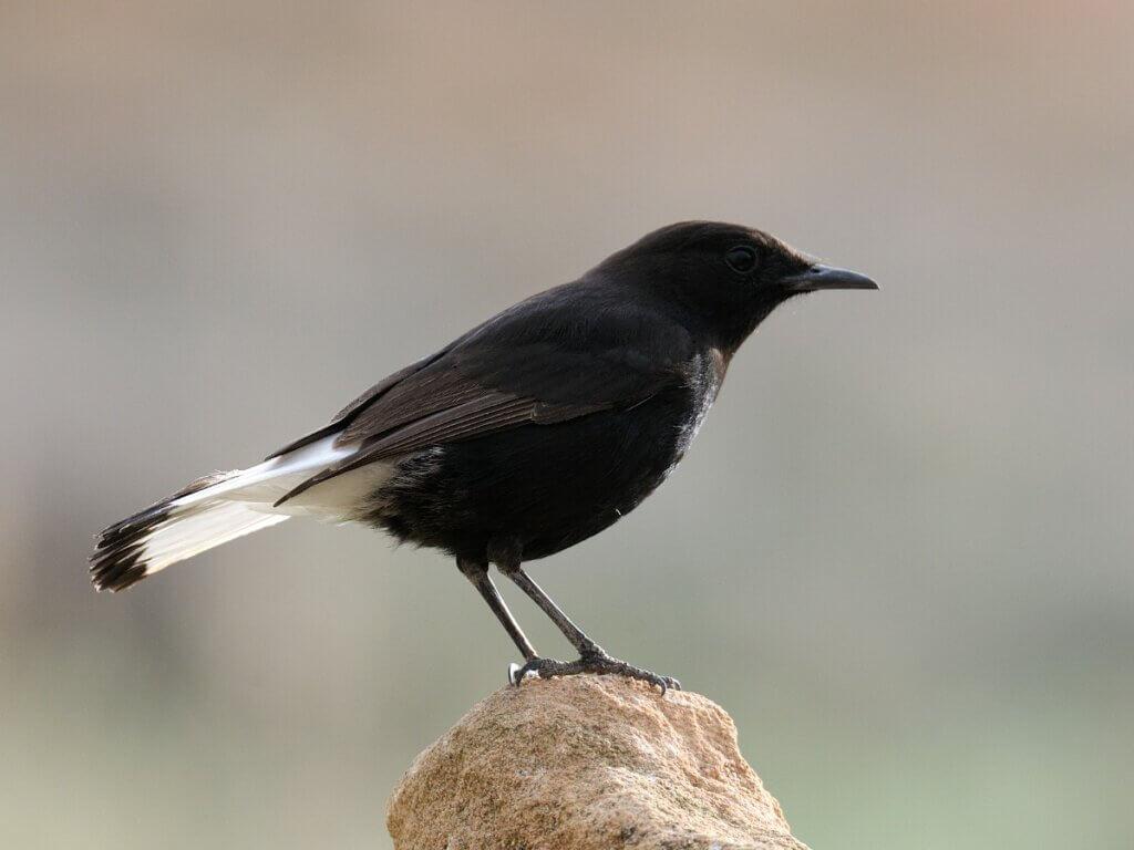 Chasco-preto: habitat e características