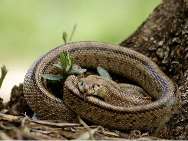 Cobra-de-escada: habitat e características