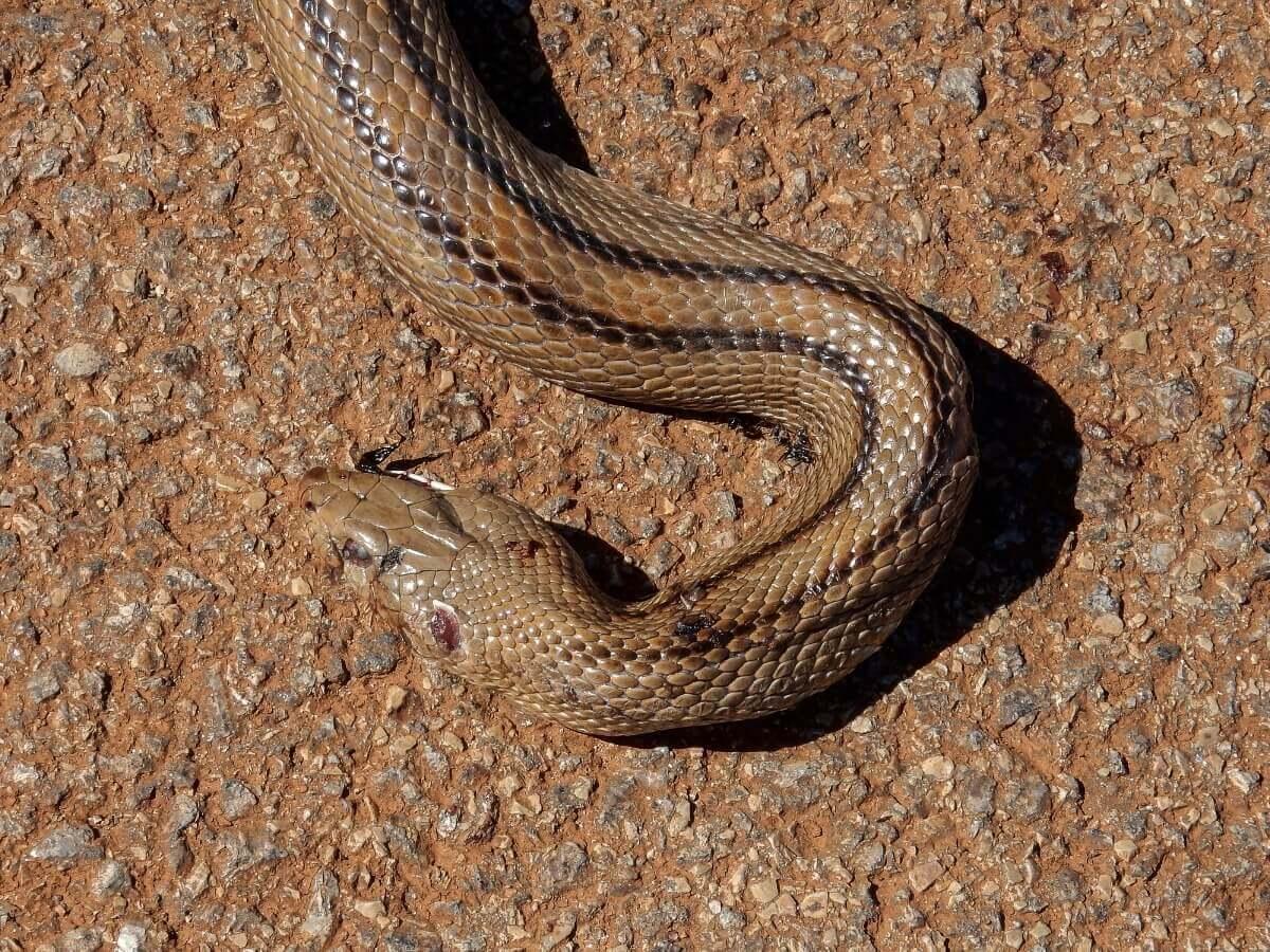 Uma cobra-de-escada cruzando a estrada
