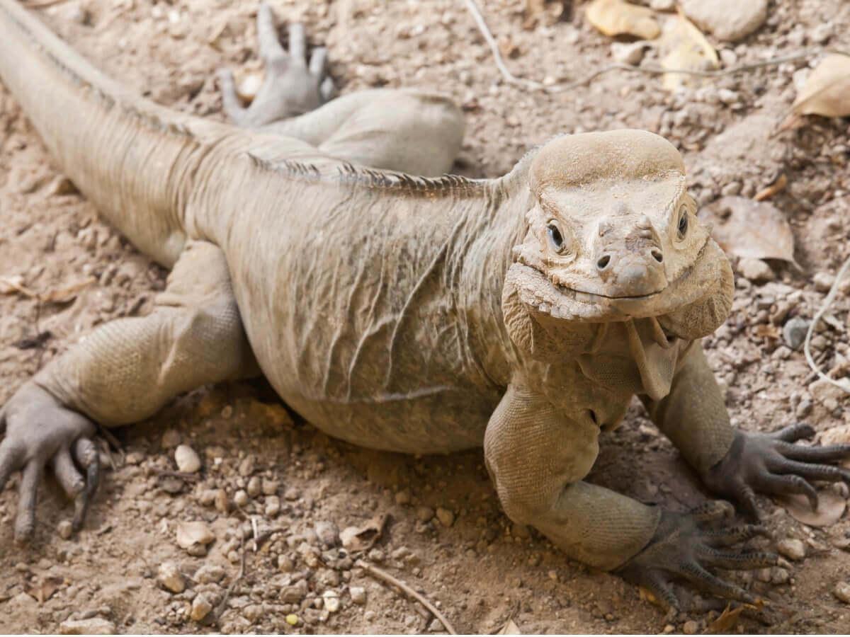 Uma iguana Cyclura cornuta de corpo inteiro.