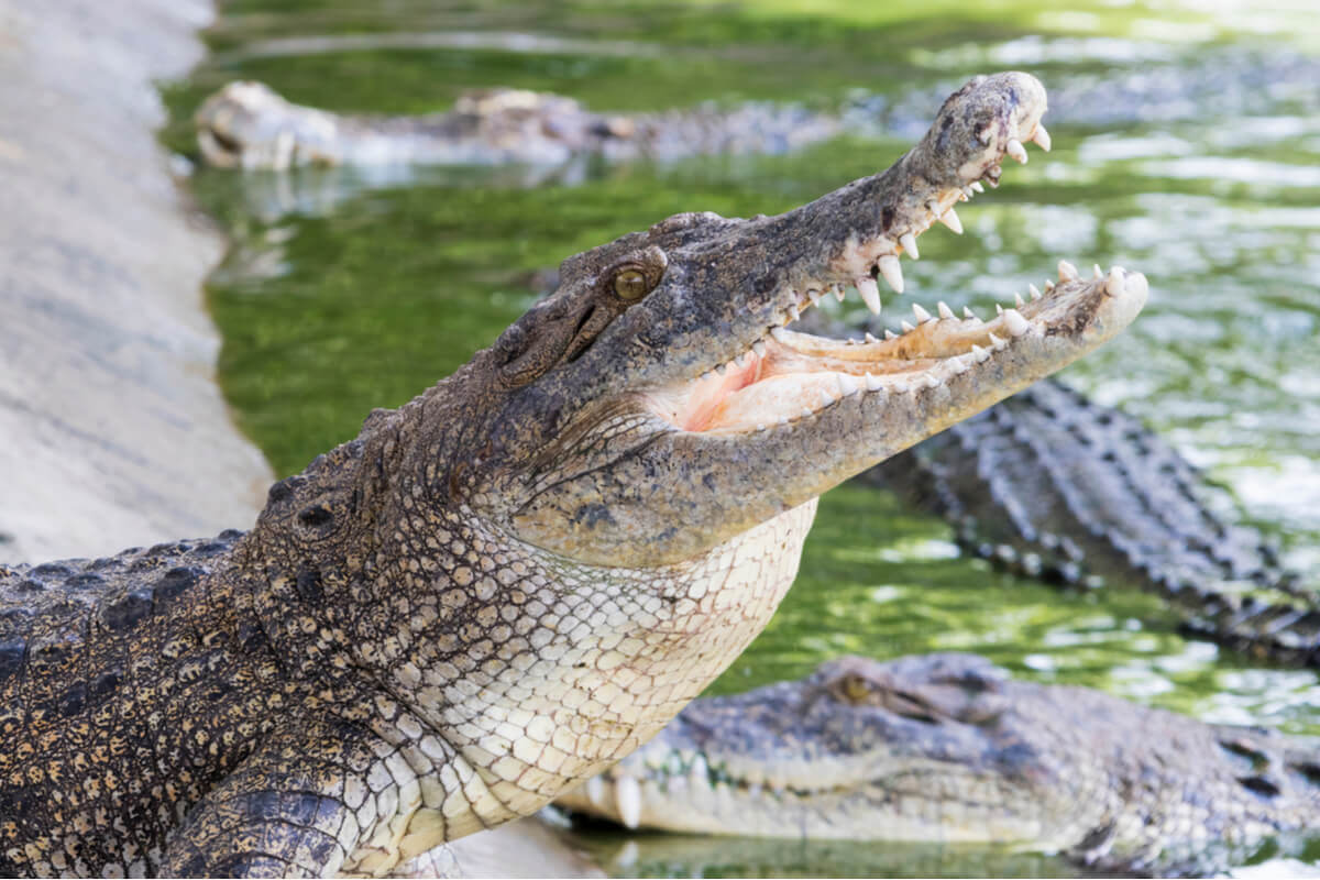 Diferenças entre jacaré e crocodilo