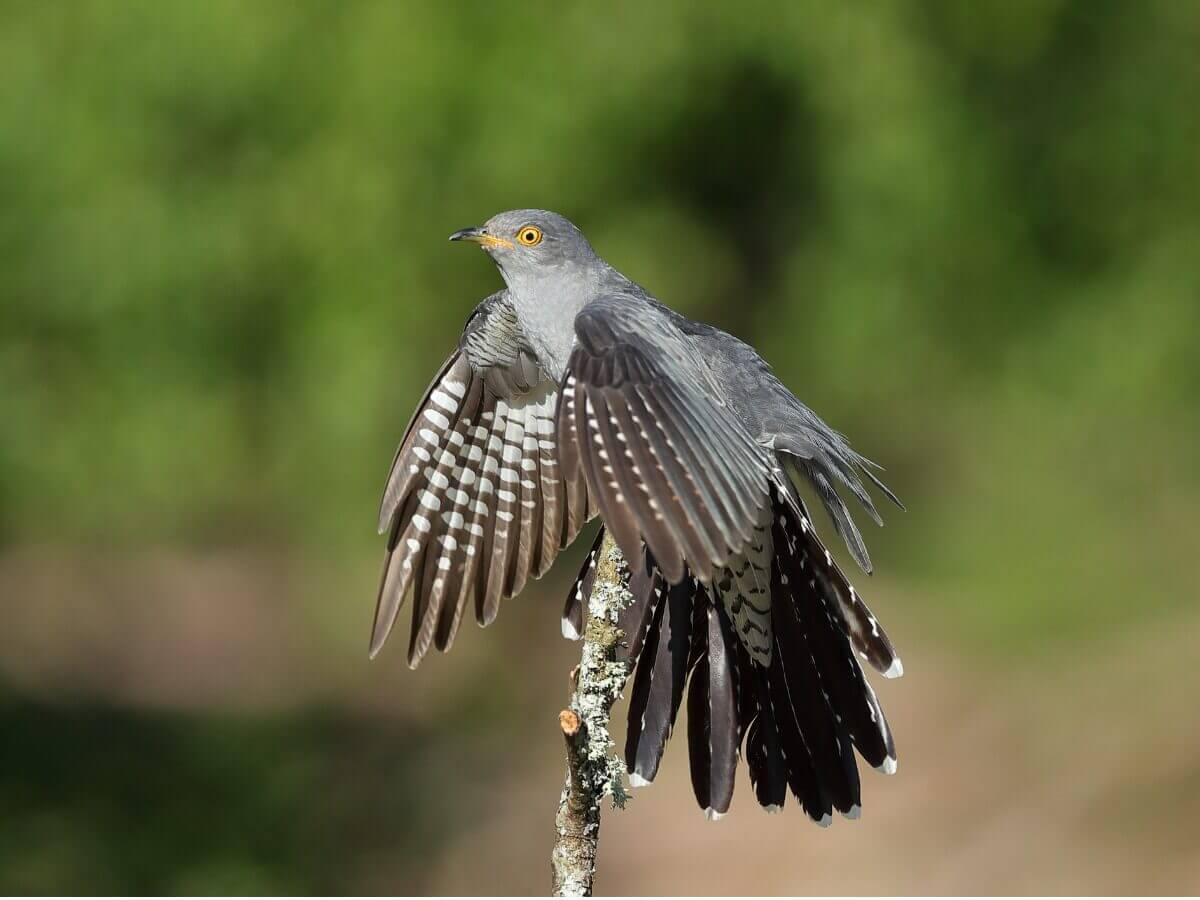 Um cuco-canoro preparando-se para voar.