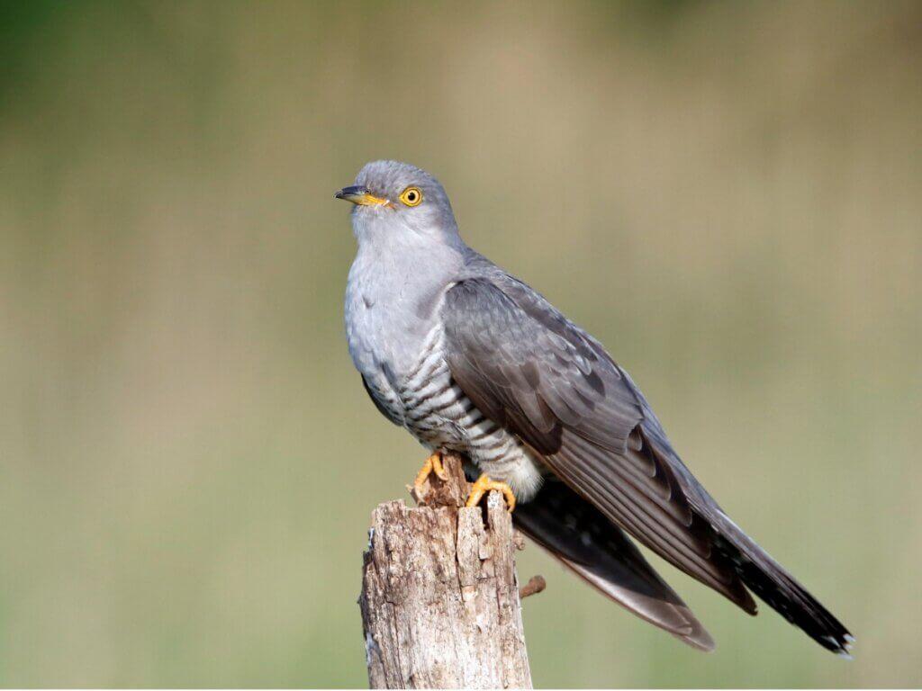 Cuco-canoro: habitat, características e incubação