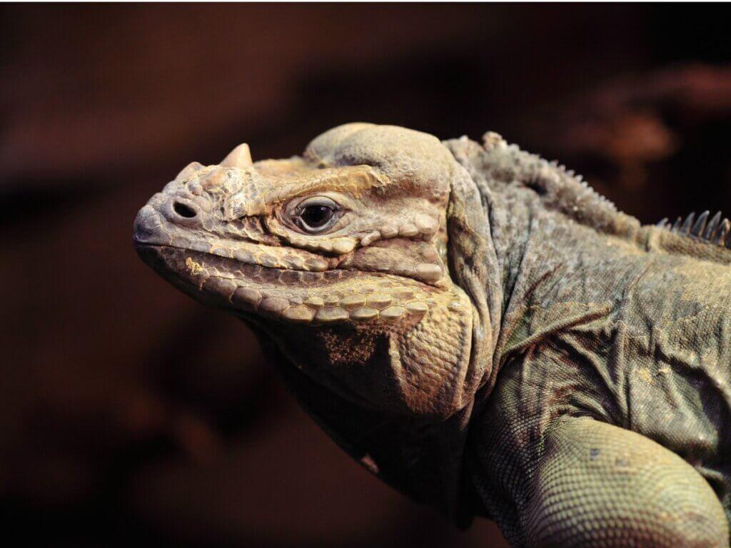 A iguana Cyclura cornuta: habitat, características e conservação