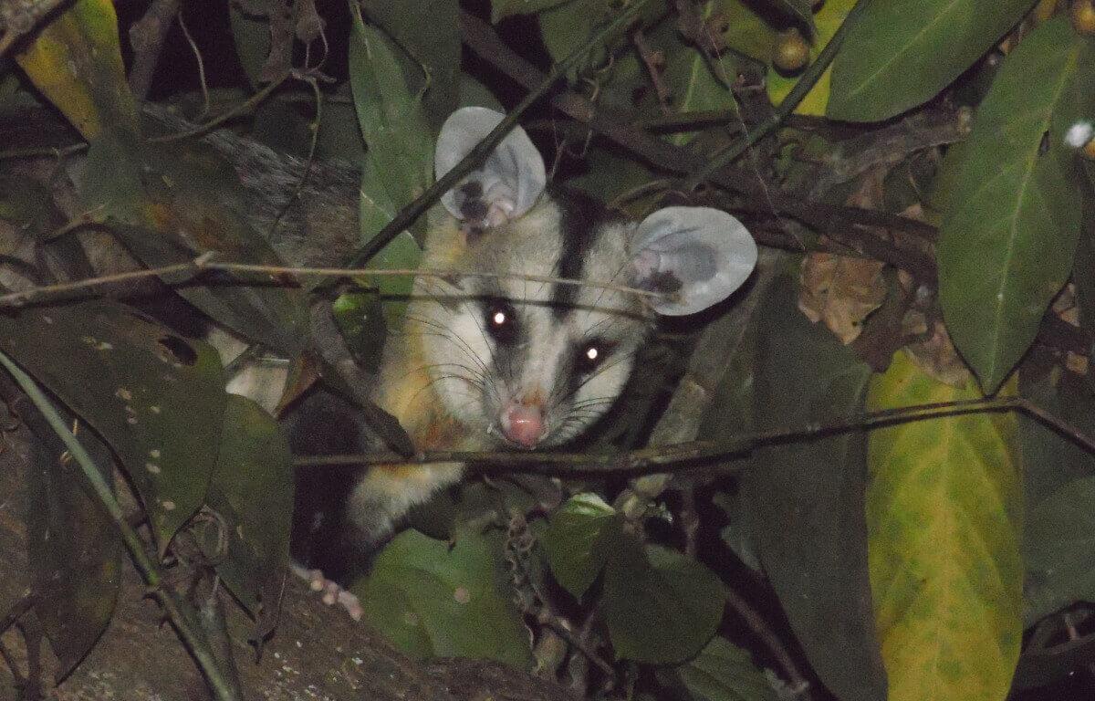 Didelphis albiventris: Um dos tipos de marsupiais.