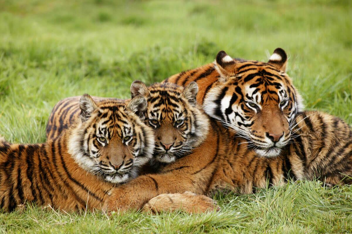 Um grupo de tigres.