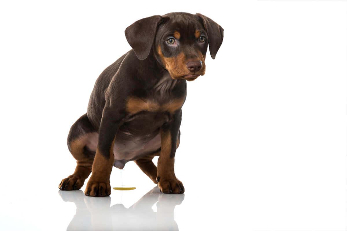 A cistite em cães é um evento comum.