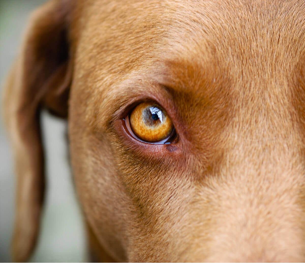 Um cachorro com um dos olhos vermelhos e inchados.