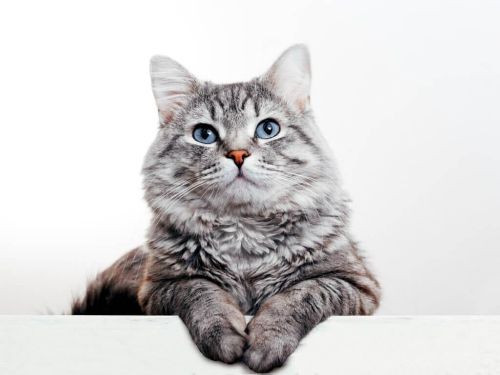 Infertilidade em gatas: causas, diagnóstico e tratamento