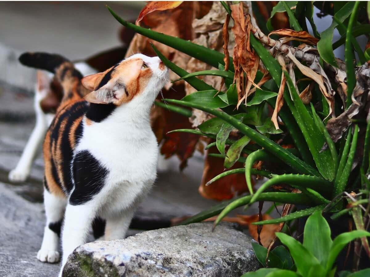 Um gato cheirando aloe vera.