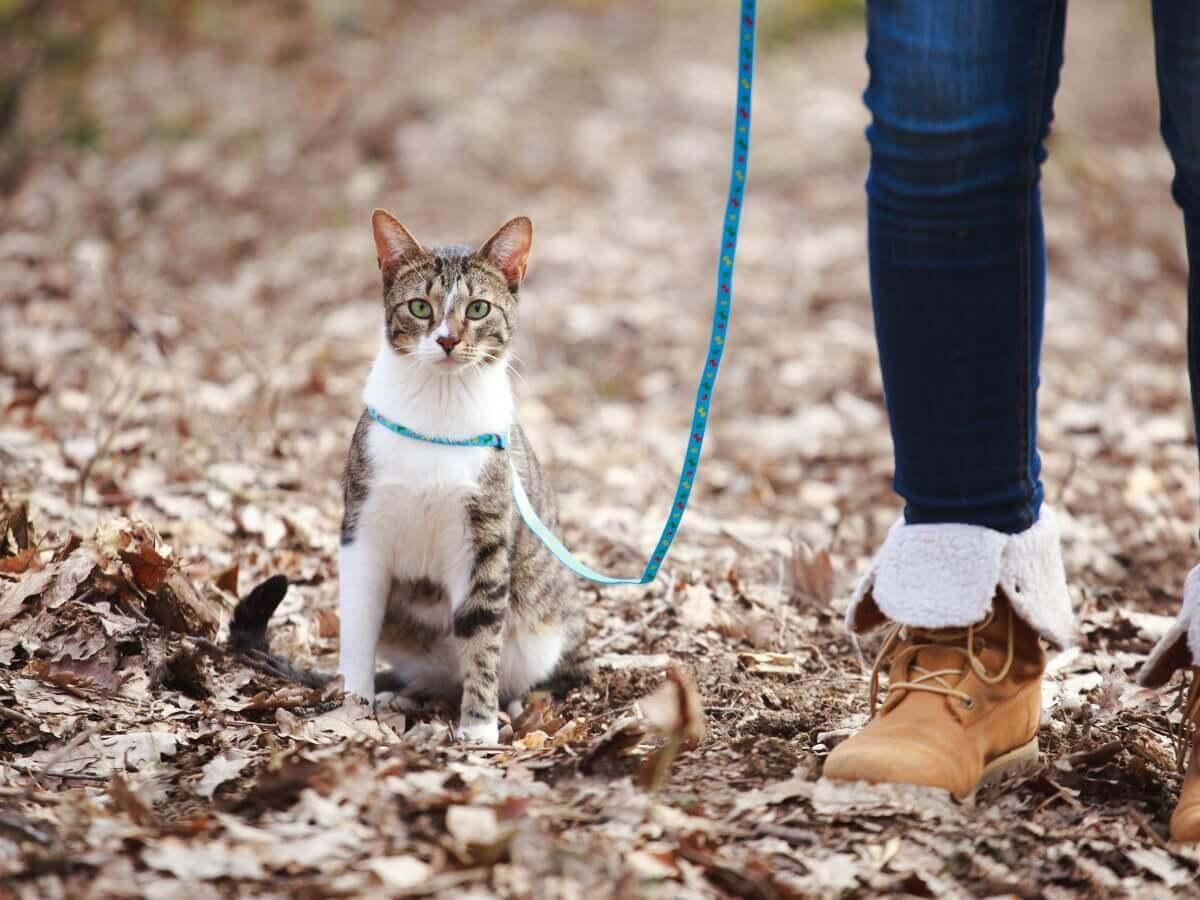 Um gato passeando de coleira.