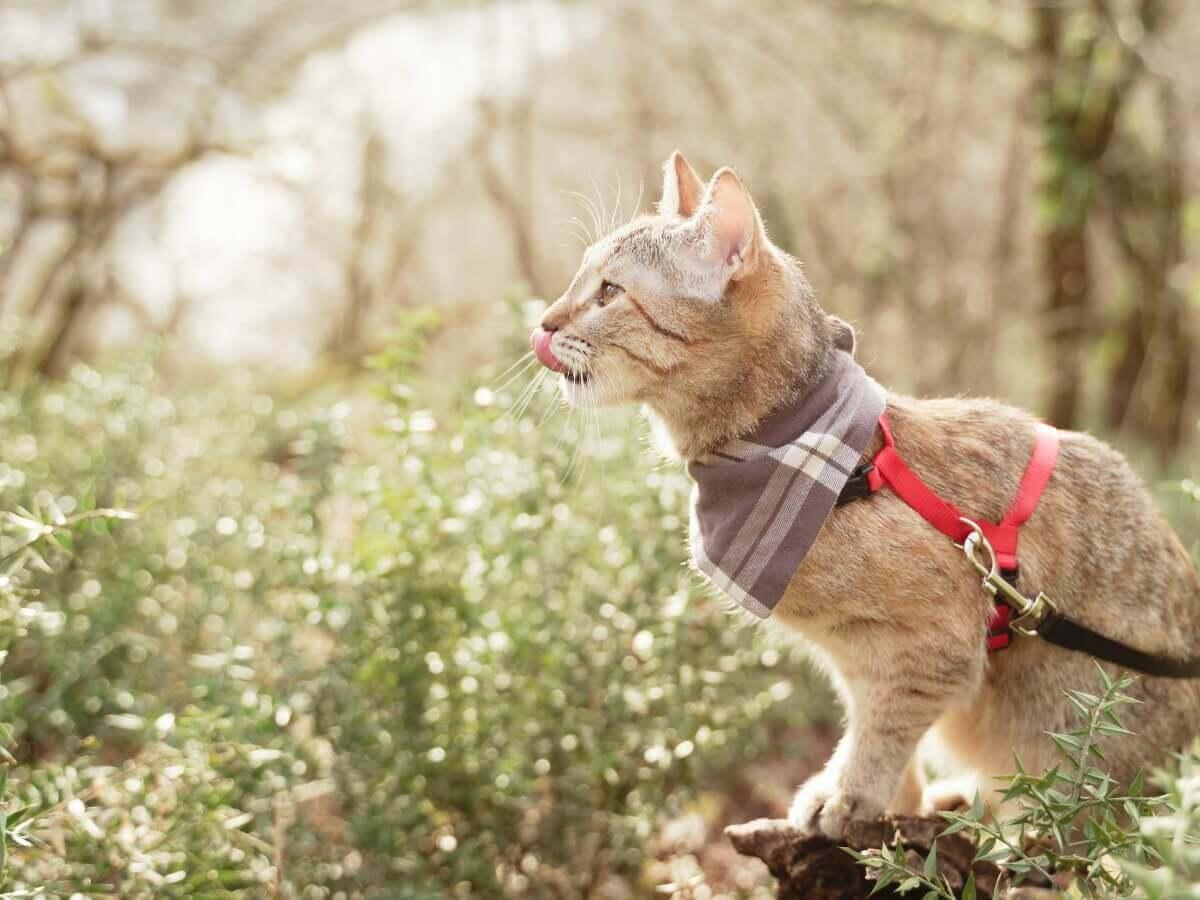 Há várias dicas para passear com o seu gato.