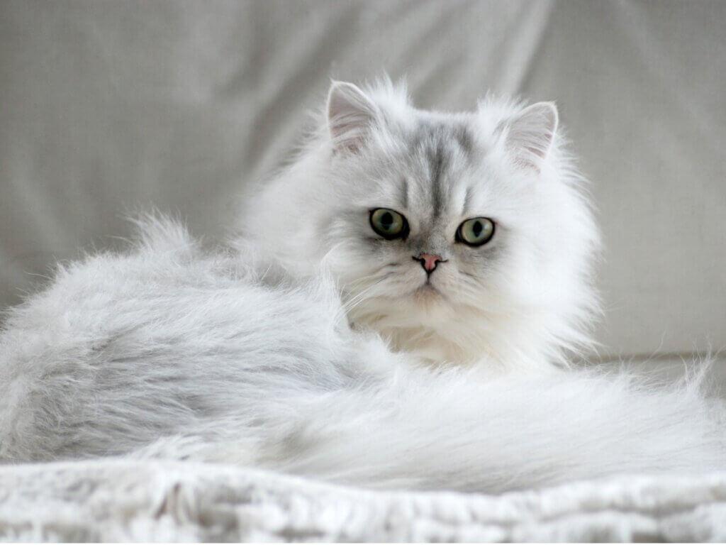 7 tipos de gato persa
