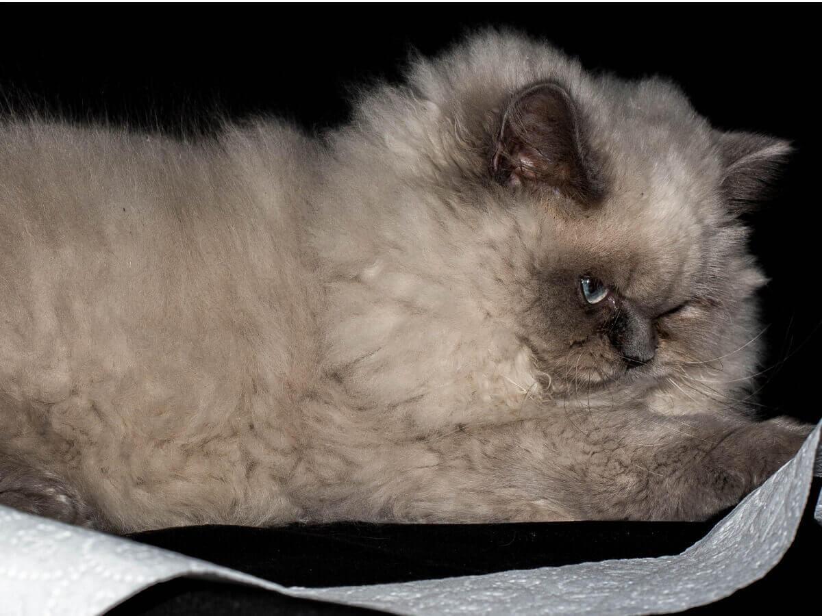 Himalaia: um dos tipos de gato persa