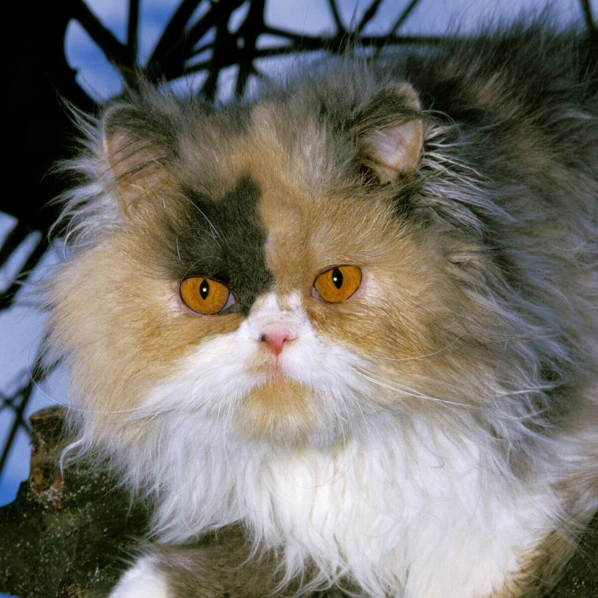 Particolor: um dos tipos de gato persa