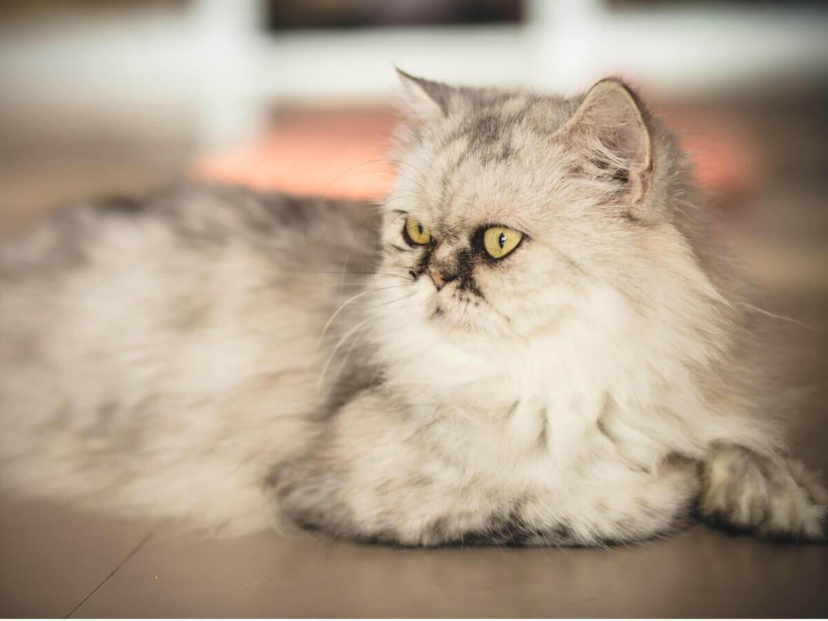 Um gato Silver & Golden