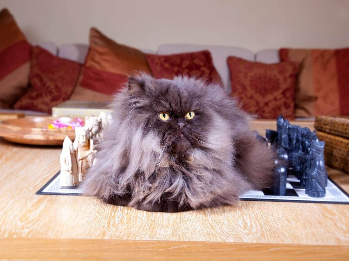 Mias um dos tipos de gato persa