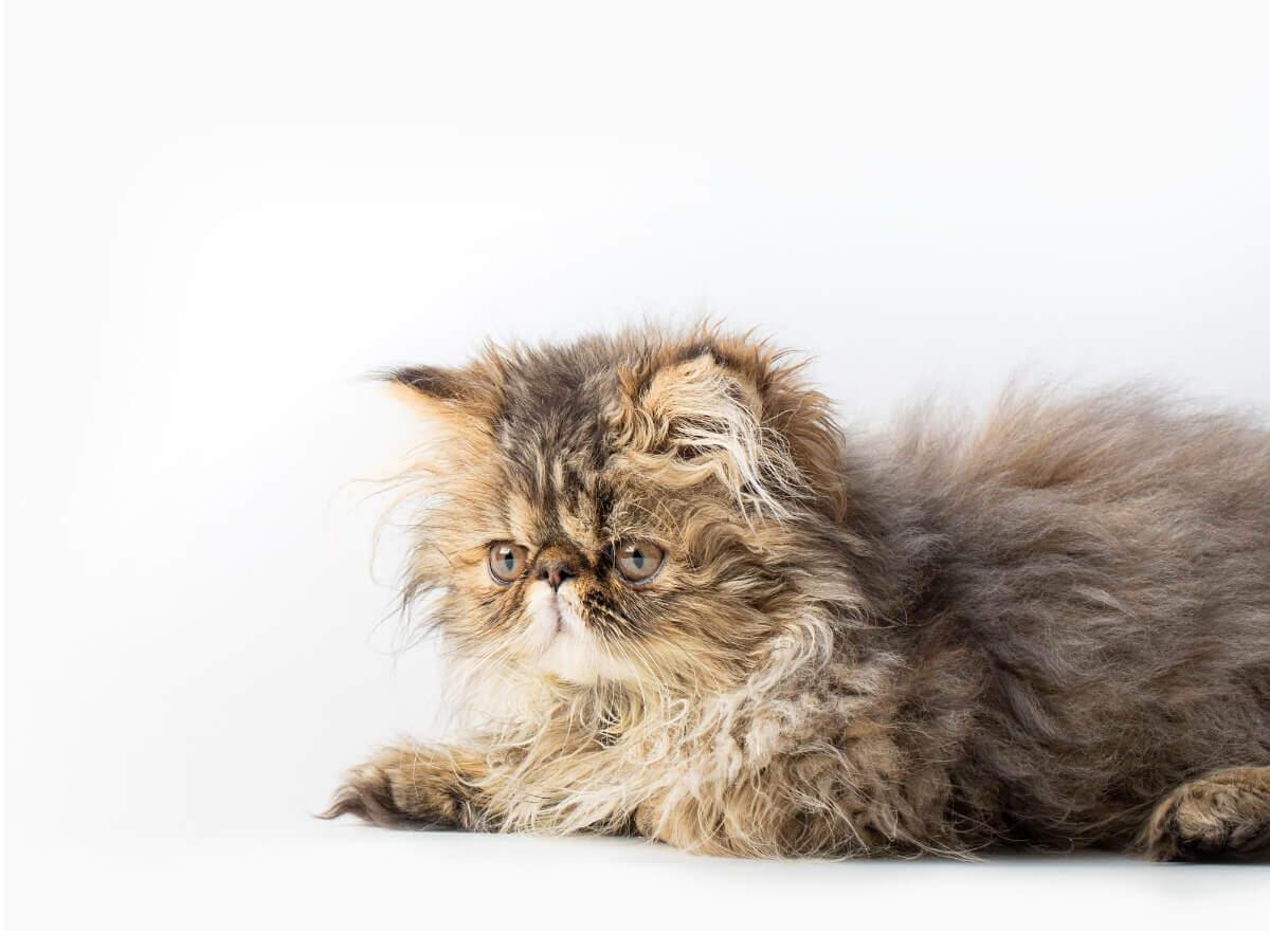 Um gato persa tabby