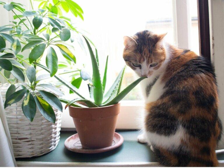 Aloe vera para gatos: usos e benefícios