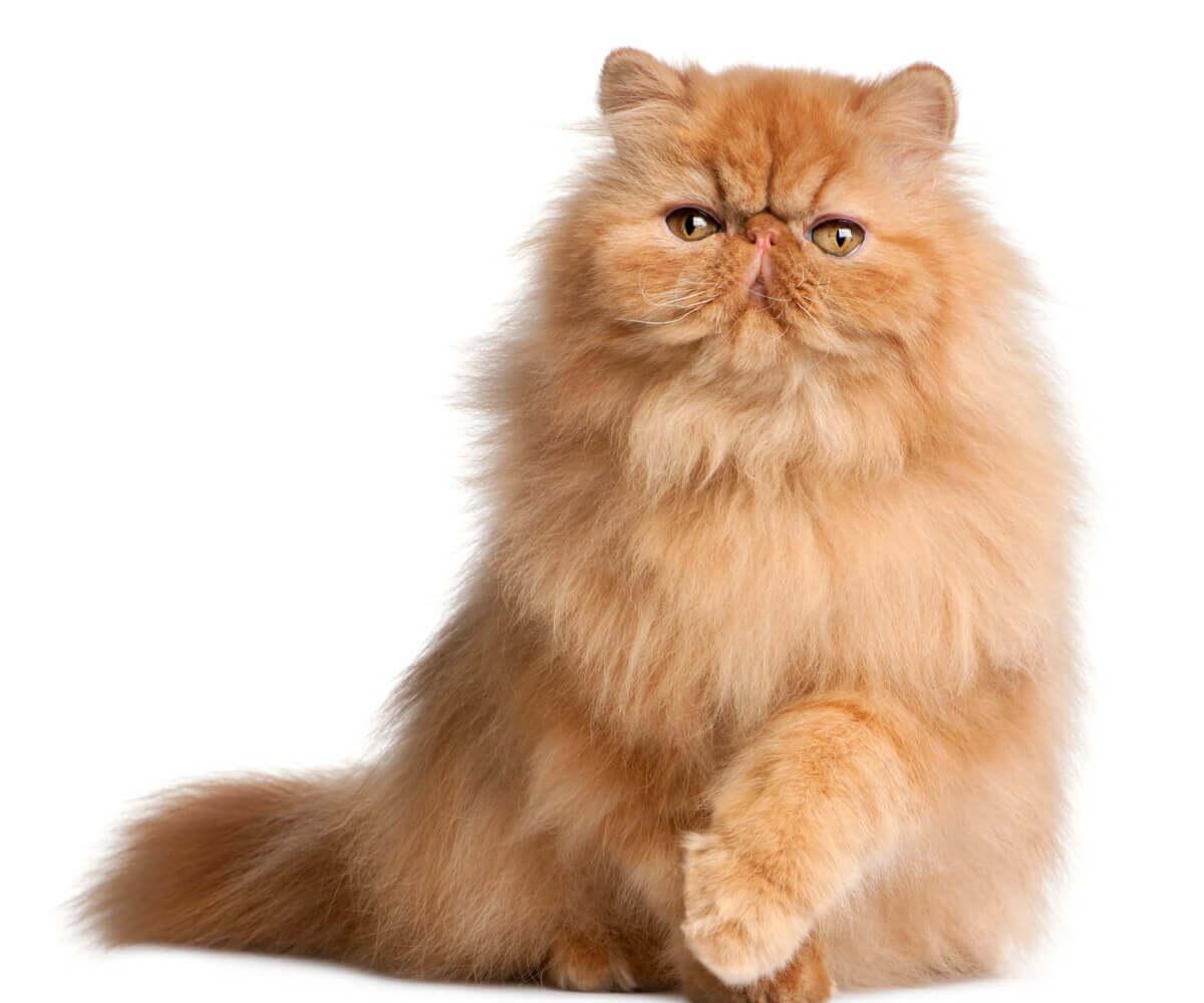 Sólido: um dos tipos de gato persa