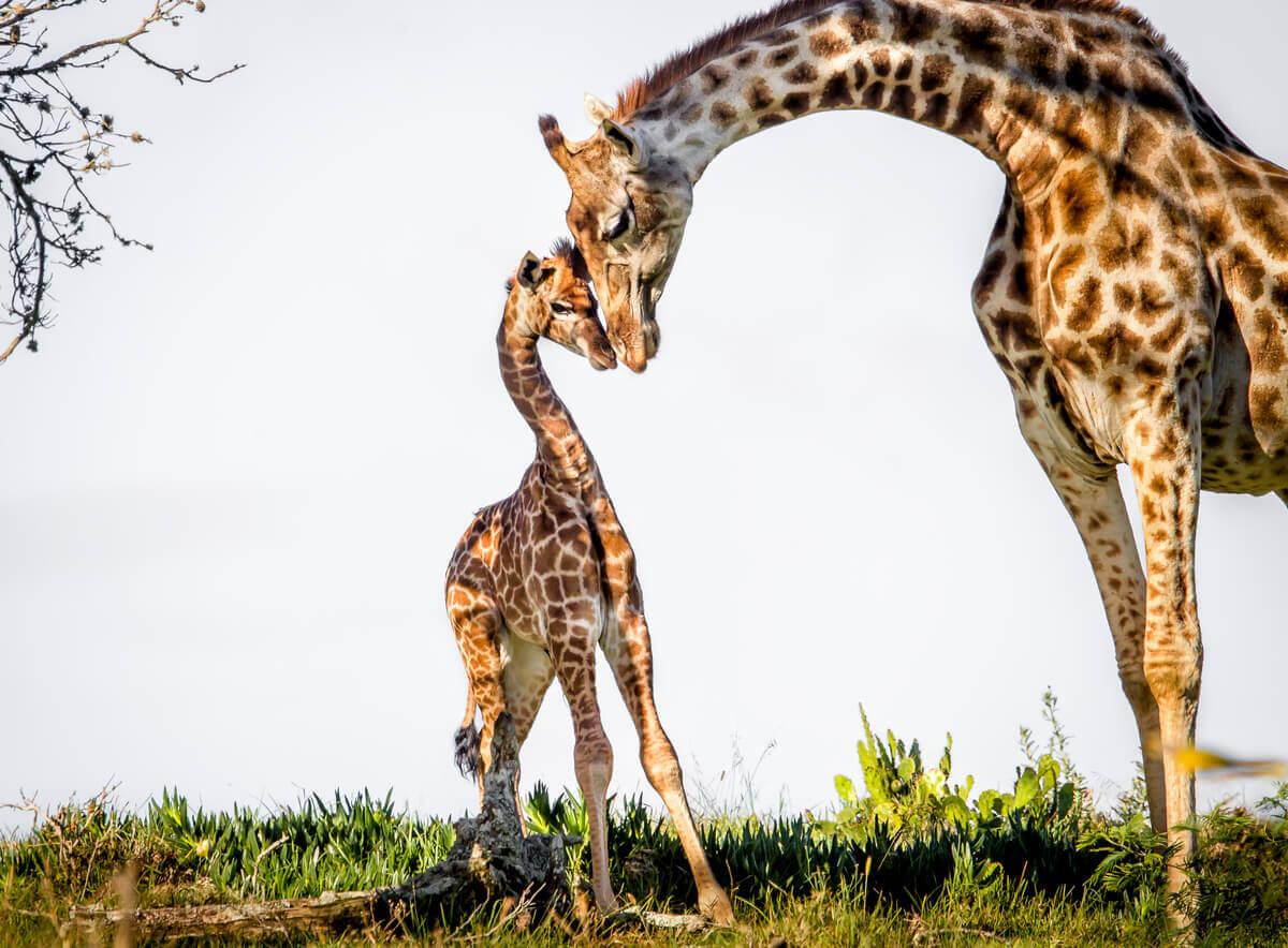 As girafas são animais que dormem em pé.