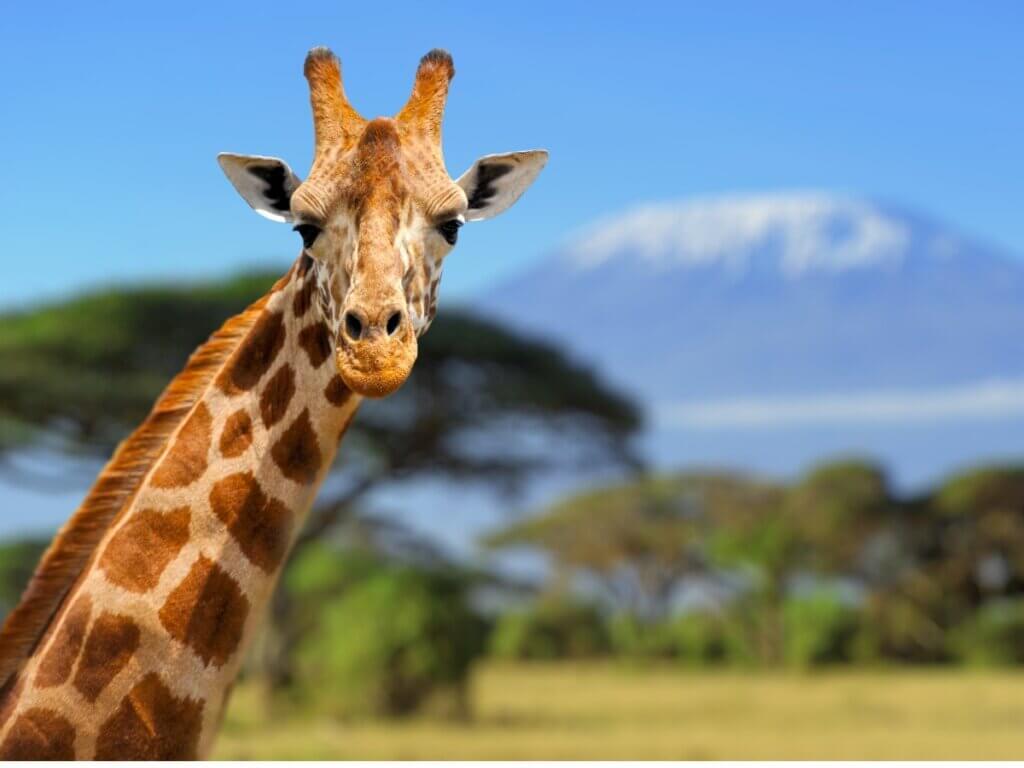 Comportamento das girafas