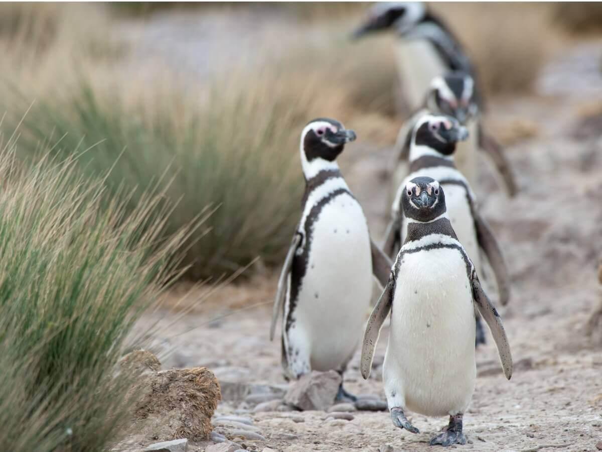 Um grupo de pinguim-de-magalhães.