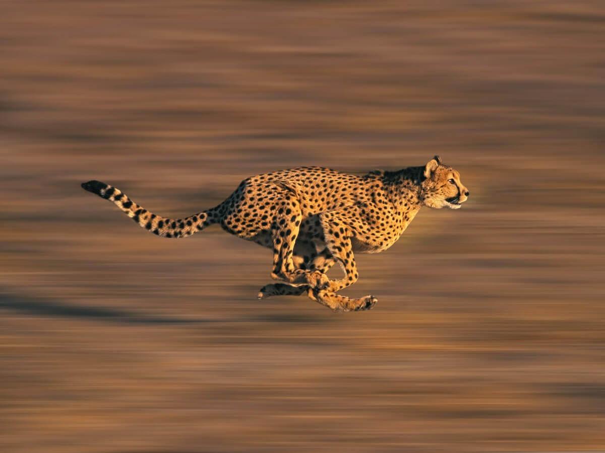 Alta velocidade na caça: características do comportamento do guepardo.