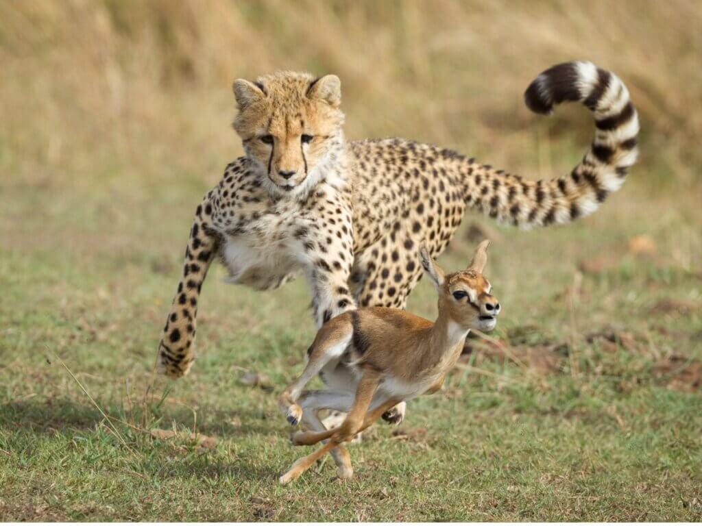 O comportamento do guepardo