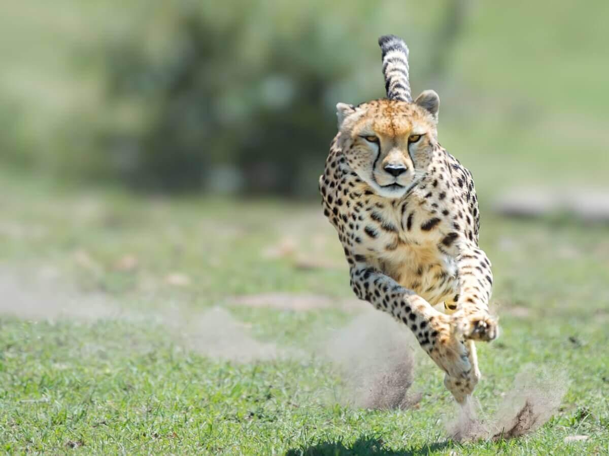 Um guepardo perseguindo sua presa.