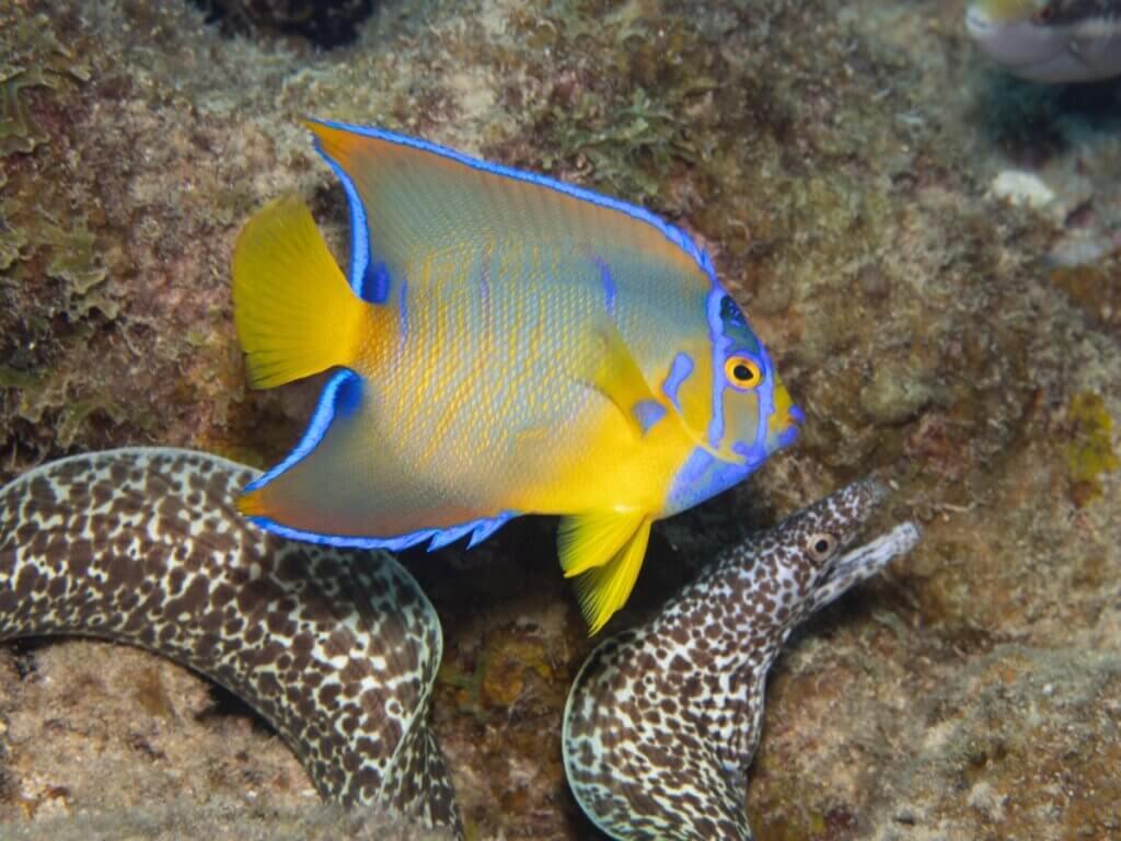 Peixe-anjo-rainha: habitat e características