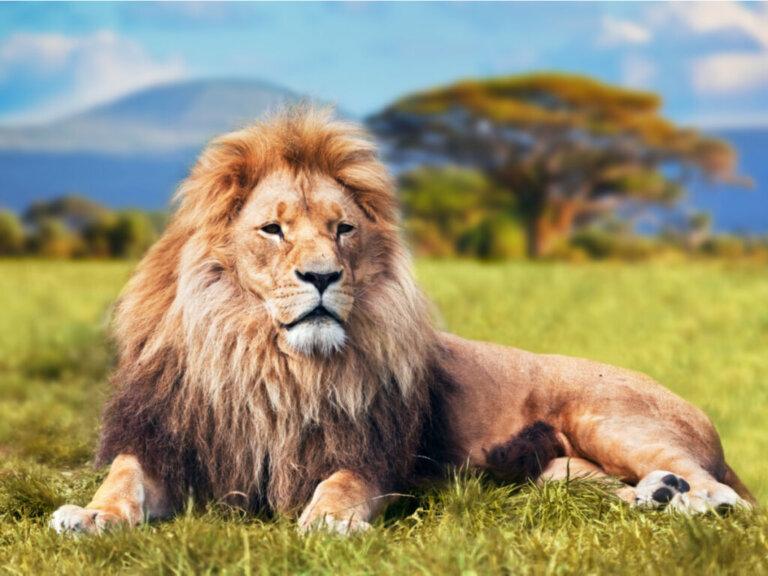 O comportamento dos leões