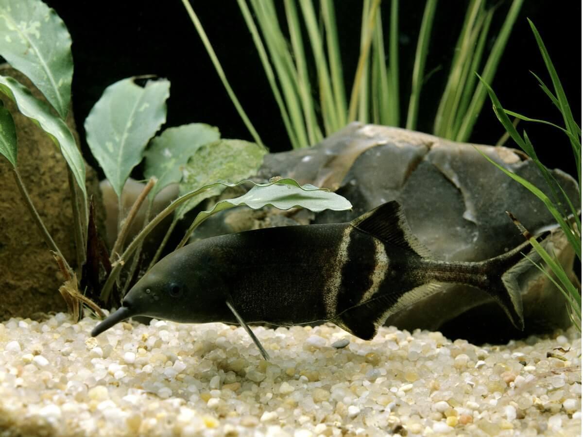 Um peixe-elefante no tanque de peixes.