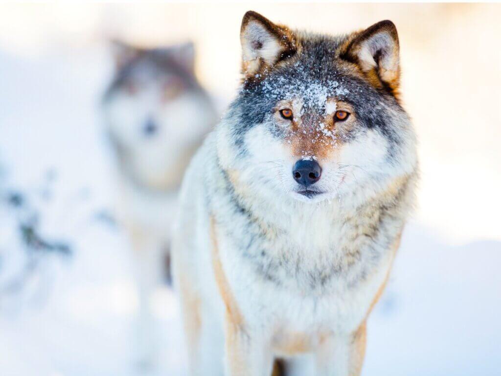 O comportamento dos lobos
