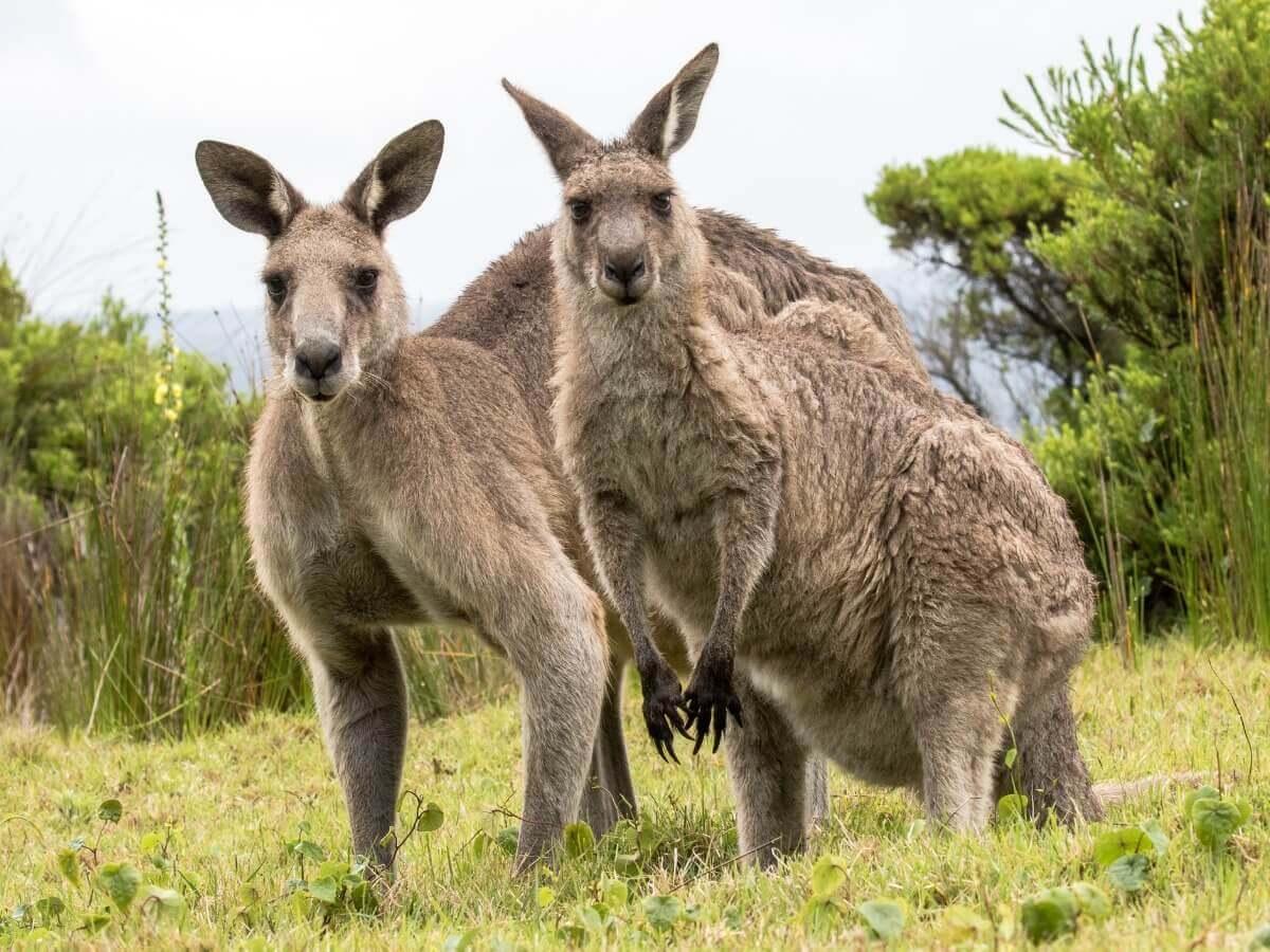 Um dos tipos de marsupiais.