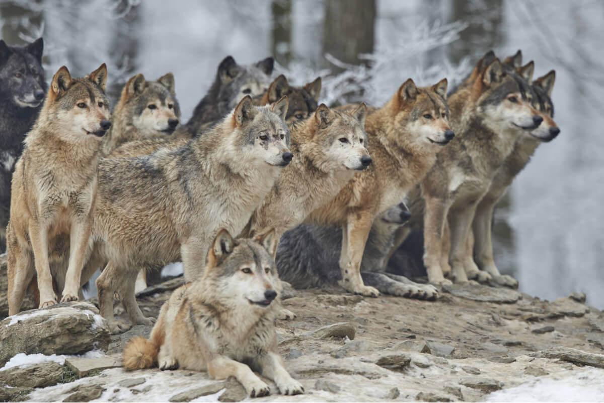 O comportamento dos lobos é impressionante.