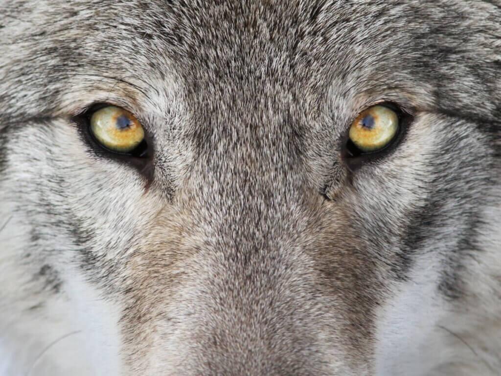 5 diferenças entre lobos e cães