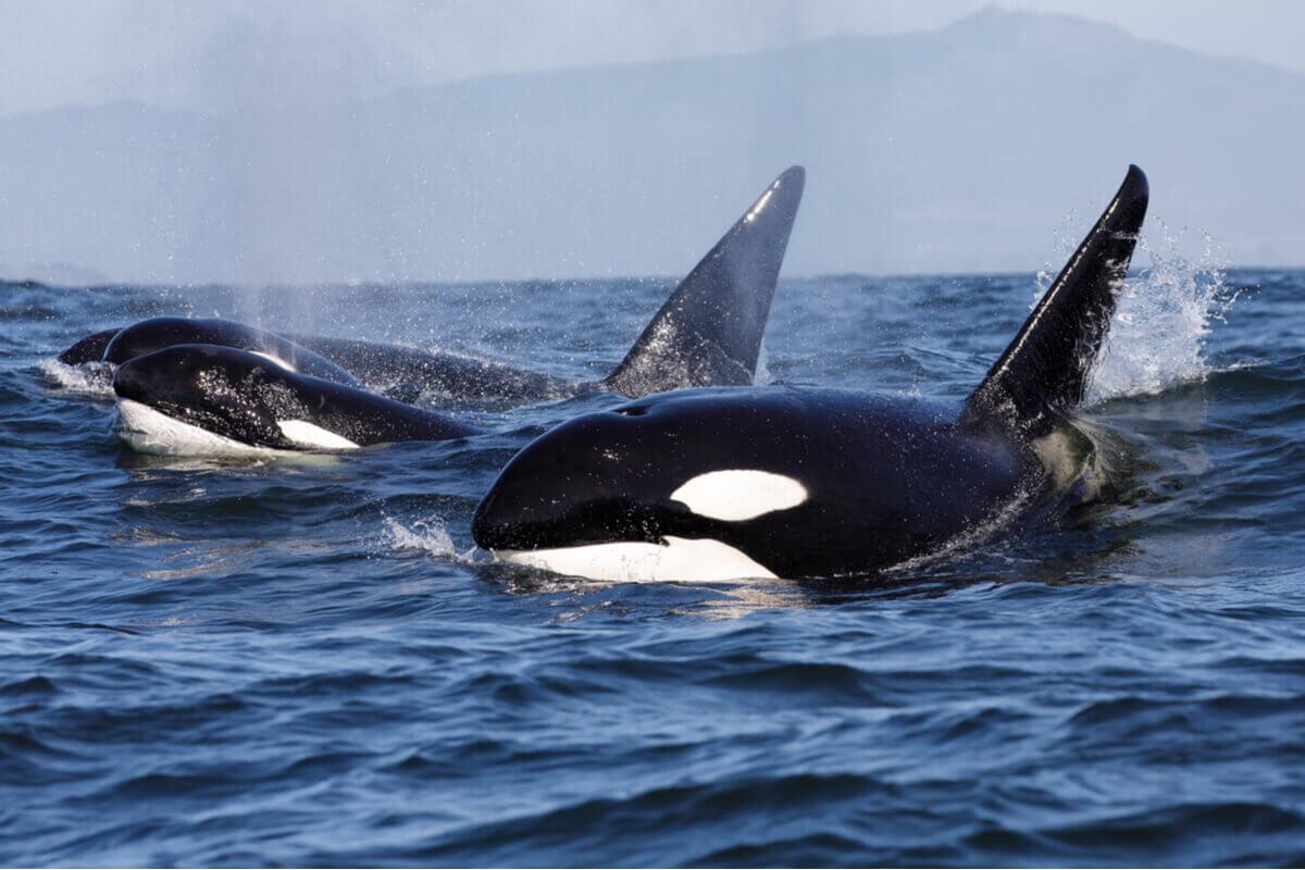 As orcas e suas nadadeiras.