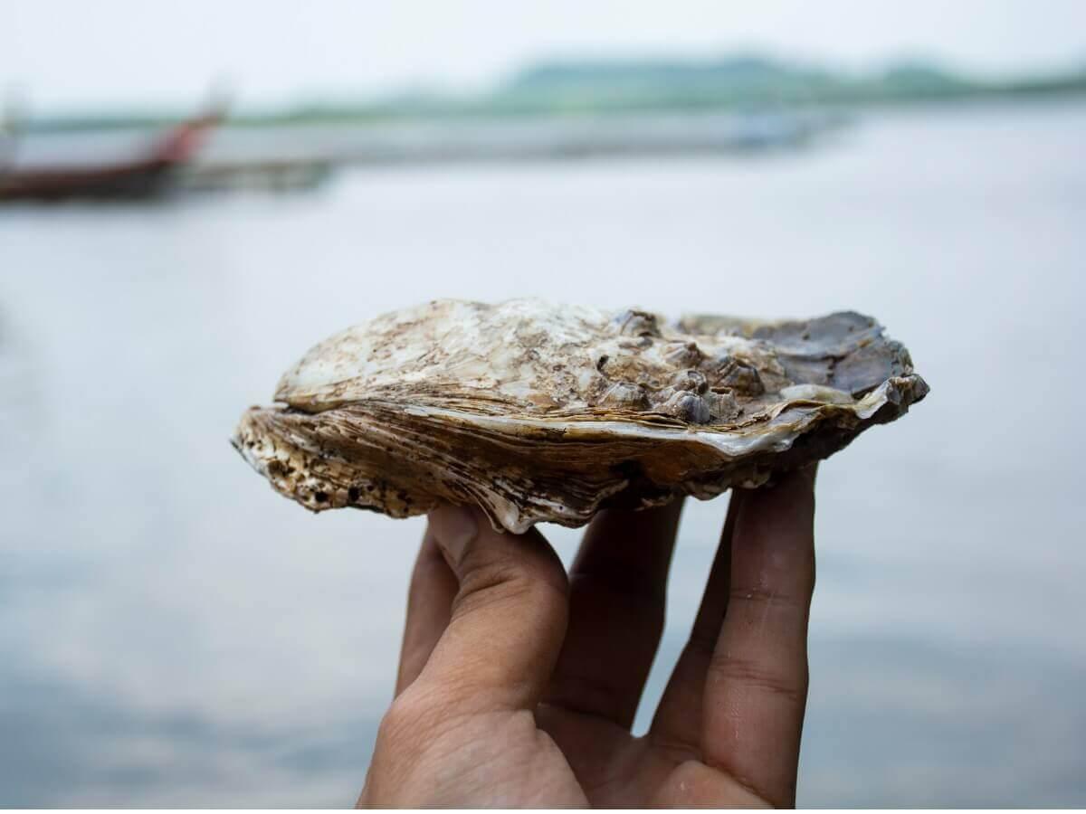 Ostrea edulis: um dos tipos de moluscos