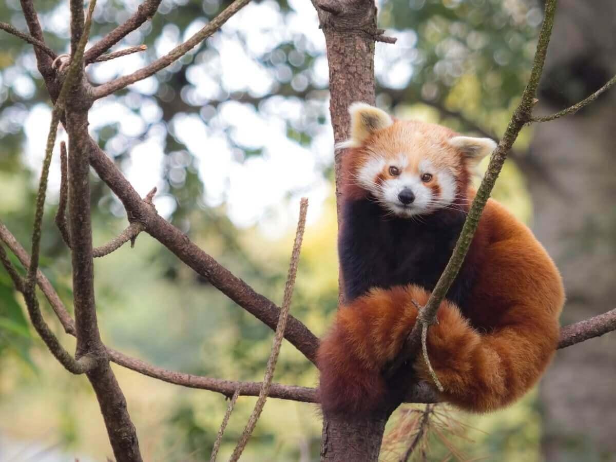 Um panda-vermelho.